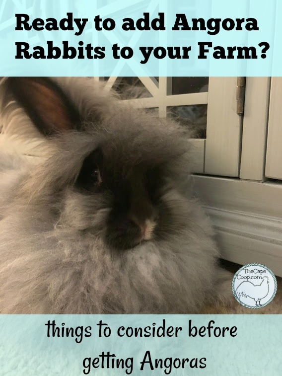 Ready to add Angora rabbits to your farm or family?  Things to consider before getting Angoras
