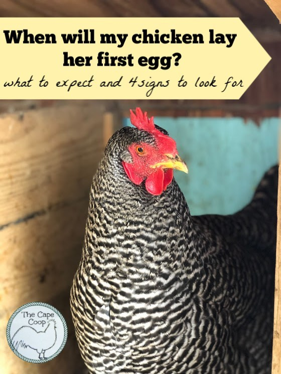 When will my chicken lay her first egg?