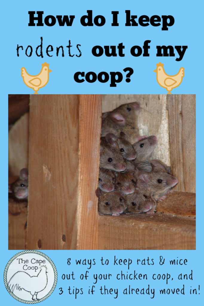How do I keep rodents out of my coop? 8 ways to keep rats & mice out of your chicken coop and 3 tips if they have already moved in!