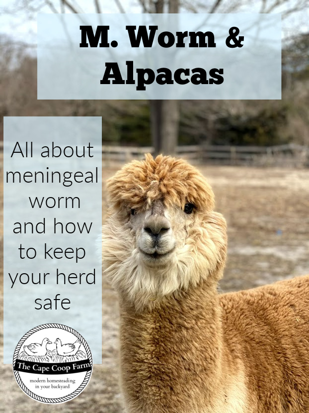 M Worm & Alpacas - all about meningeal worm and how to keep your herd safe